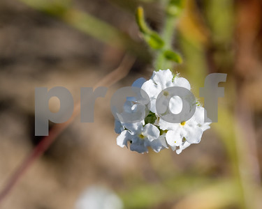 Popcorn Flower blooming in San Juan Capistrano, California